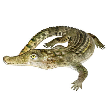 Watercolor closeup portrait of Nile crocodile animal isolated on white background. Hand drawn dangerous cold-blooded predator. Book, card, encyclopedia design. Clip art illustration for web and print
