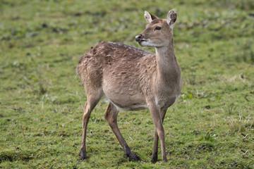 close up full length portrait of a stationary alert Vietnamese sika deer doe looking back slightly over her shoulder