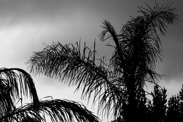 Palm Tree Branches Against Sky Black and White