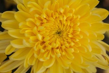 Yellow Chrysanthemum flower.