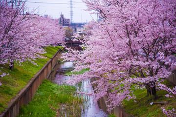 小川沿いに咲く、満開の桜
