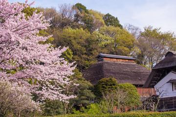 古民家の庭に咲く満開の桜