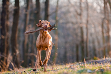 running hungarian vizsla hunter dog