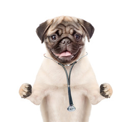Pug puppy with stethoscope on his neck. isolated on white background