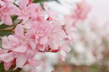 spring blossom pink flower tree background
