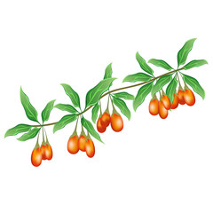 Goji (Lycium barbarum, Chinese wolfberry, boxthorn, barbary matrimony vine). Hand drawn vector illustration of goji branch with berries on white background.