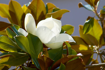 magnolia flower blossom between green leaves in june