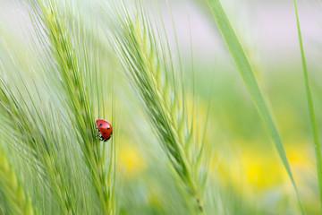 ladybug on green barley plant