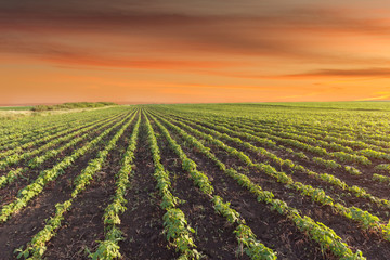 Landscape photo of soybean meadow at beautiful sunset