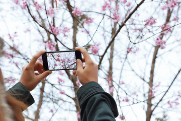 woman hold smartphone taking photo beauty cherry blossom floral