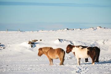 Pony horses standing in winter
