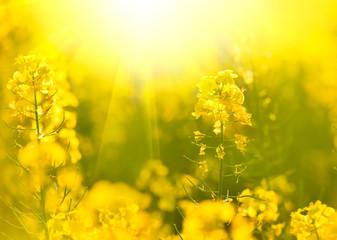Rapeseed field, blooming canola flowers closeup