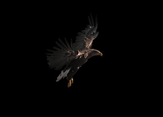 Eagle is flying beautiful isolated at black