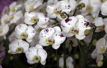 fresh and beautiful Orchid
