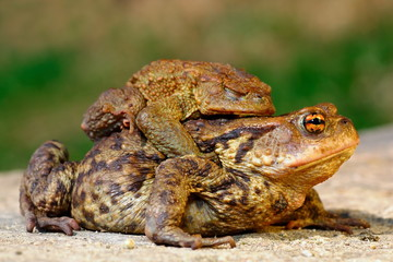 common brown toad in mating season