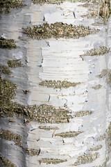 Tree bark - variety is Betula pendula dalecarlica. Also known as Silver Birch or Swedish Birch Tree.