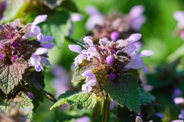 Purple dead-nettle wild flower