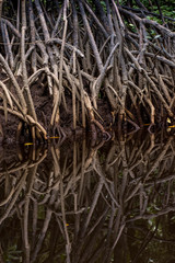 Close up tangle of Mangrove tree roots and branches growing in to a calm mangrove river with detailed reflection.
