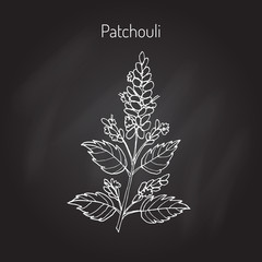 pachouli - aromatic and medicinal plant