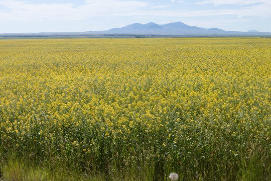 field of mustard plants in Montana