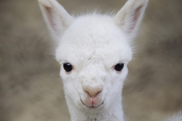 Alpaka-Baby