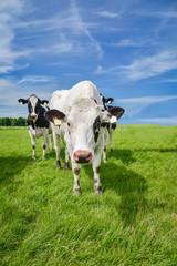 Fototapete - Neugierig blickene Rinder auf einer Weide, Hochformat