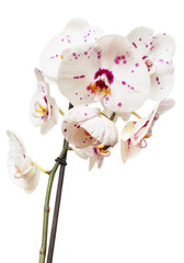Branch of orchid flower isolated on white background. Flat lay, top view