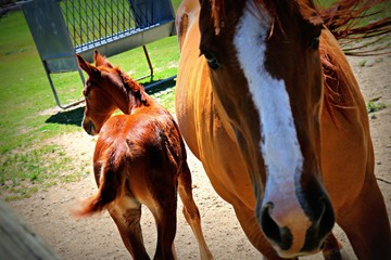Mother Horse with Baby Foal