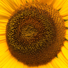 Flower of sunflower macro. Seeds and oil. Flat lay, top view