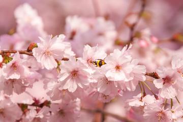 Hummel bestäubt eine Kirsch Blüte. Kirschblüte im Morgenlicht - Frühling -