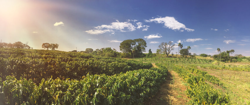 Farm - Sunlight at the coffee plantation field