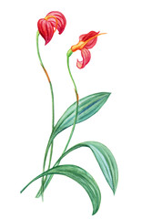 Exotic plant orchid masdevallia ignea, watercolor botanical illustration on white background.