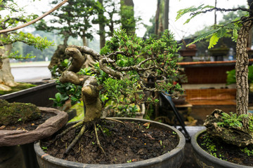 Bonsai tree in a pot made from clay sell at plant seller photo taken in Jakarta Indonesia