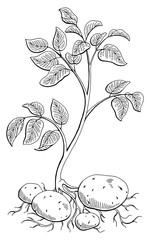 Potatoes vegetable plant graphic black white isolated sketch illustration vector