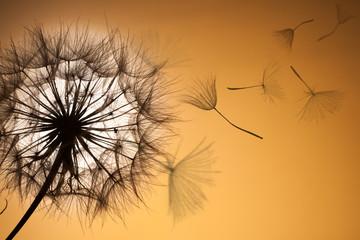 Photo sur Aluminium Pissenlit Dandelion silhouette fluffy flower sunset sky
