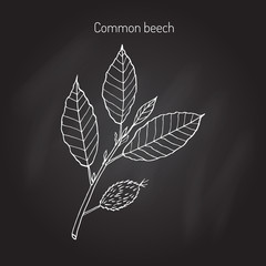 Beech branch with leaves