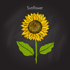 Sunflower. Vector  illustration