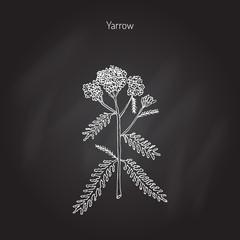 Achillea millefolium or Yarrow, medicinal plant