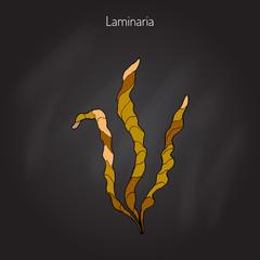 Saccharina latissima, or kelp