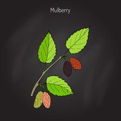 Mulberry morus nigra , or black mulberry