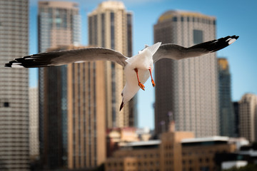 Seagull diving for food in Sydney
