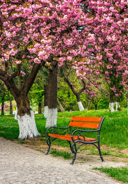 cherry blossom in city park