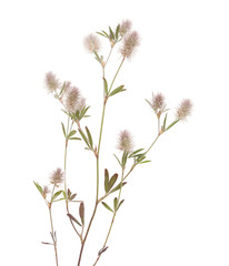 flora of Gran Canaria - Trifolium arvense, harefoot clover