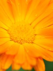 Orange flower of calendula with dew. Background. Macro