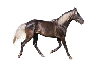 silver black horse breed rocky mountain on white background isolated