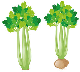 Celery plant on white background