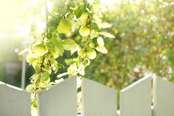 Green Fresh Apples Growing Behind a Fence