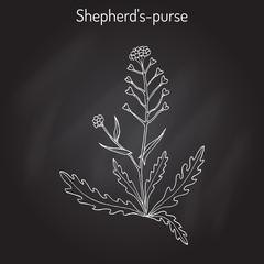 Shepherd s purse Capsella bursa-pastoris , medicinal herb