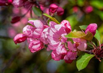 Pink crabapple flowers