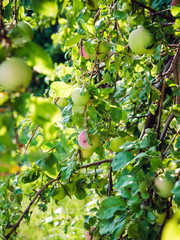 Green apples on a branch in summer in the garden
